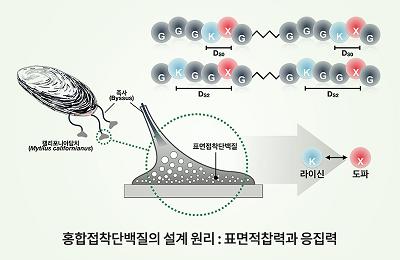 화공 차형준 교수 공동연구팀, 물 속에서 '스파이더맨' 보다 강한 홍합, 그 이유는 '시너지'
